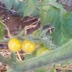 009. Ντομάτα Λευκή Σταφίδα