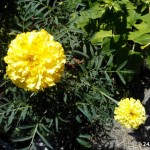 202. Κατιφές κίτρινος