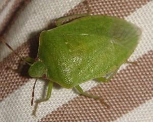 Πράσινη Βρομούσα