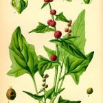 106. Chenopodium Capitatum